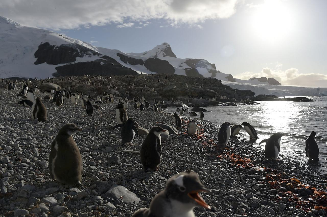 <p>View of Gentoo penguins in Cuverville Island, in the western Antarctic peninsula on March 4, 2016. Waddling over the rocks, legions of penguins hurl themselves into the icy waters of Antarctica, foraging to feed their young. Like seals and whales, they eat krill, an inch-long shrimp-like crustacean that forms the basis of the Southern Ocean food chain. But penguin-watchers say the krill are getting scarcer in the western Antarctic peninsula, under threat from climate change and fishing. (Photo: Eitan Abramovich/AFP/Getty Images) </p>