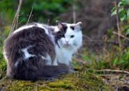 """<p>The <a href=""""https://cfa.org/norwegian-forest-cat/"""" rel=""""nofollow noopener"""" target=""""_blank"""" data-ylk=""""slk:Norwegian Forest Cat"""" class=""""link rapid-noclick-resp"""">Norwegian Forest Cat</a> is long-haired, fluffy cat with a wild appearance. Their waterproof, double coat is a genetic trait from its Scandinavian origins with its harsh, frigid winters.</p>"""