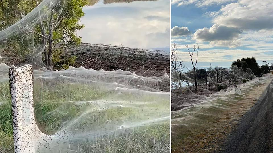 Spiderwebs are seen near the road in the Gippsland region following the rain.