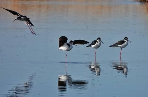 Upon reaching Frank Lake, Brian Keatingsaid he was greeted by a cacophony of birdsong,and witnessed what he called the 'impossibly beautiful' and romantic mating behaviour of black-necked stilts. (Brian Keating - image credit)