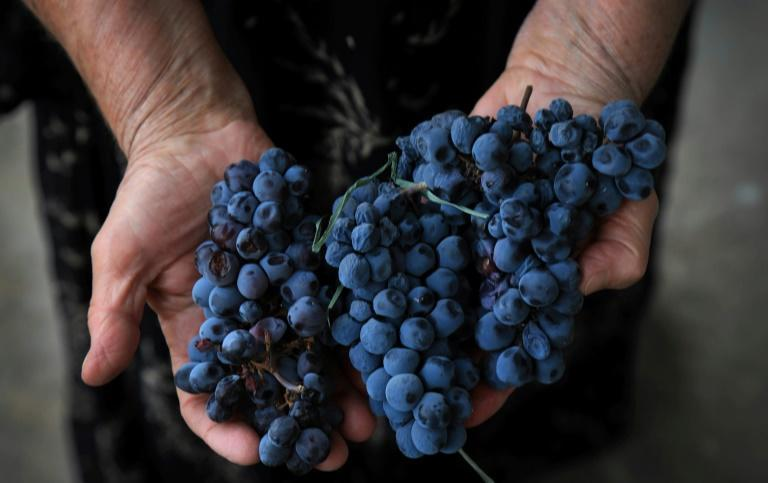 Winemaker Fakhria Eli crushes holds red grapes in the historic city of Shaqlawah