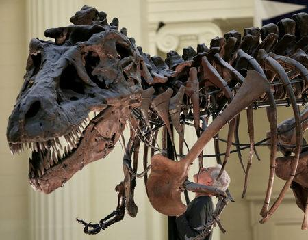 """FILE PHOTO - Bill Simpson looks inside a fossil of a Tyrannosaurus rex known as """"SUE"""", before removing its forelimb to be used for research at the Field Museum in Chicago"""