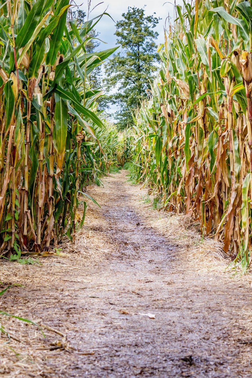 """<p>With two unique corn mazes, <a href=""""https://www.cornbellys.com/corn-maze"""" rel=""""nofollow noopener"""" target=""""_blank"""" data-ylk=""""slk:Cornbelly's"""" class=""""link rapid-noclick-resp"""">Cornbelly's</a> in Spanish Fork and Lehi, Utah, has something for all ages and skill levels. Both have a """"Bea-UTAH-ful"""" theme this year to celebrate their home state.</p><p><a class=""""link rapid-noclick-resp"""" href=""""https://go.redirectingat.com?id=74968X1596630&url=https%3A%2F%2Fwww.tripadvisor.com%2FAttractions-g57134-Activities-Spanish_Fork_Utah.html&sref=https%3A%2F%2Fwww.countryliving.com%2Flife%2Ftravel%2Fg22717241%2Fcorn-maze-near-me%2F"""" rel=""""nofollow noopener"""" target=""""_blank"""" data-ylk=""""slk:PLAN YOUR TRIP"""">PLAN YOUR TRIP</a></p>"""