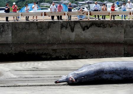 People watch a Baird's Beaked whale being dragged up to be butchered at Wada port in Minamiboso