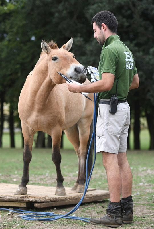 Tuuli the Przewalski's horse is weighed by keeper Luke Pharoah.