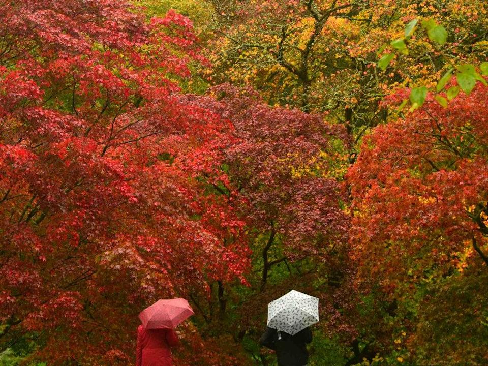 Japanese maples are some of the first species to turn red and orange at  the Old Arboretum at Westonbirt in south west England