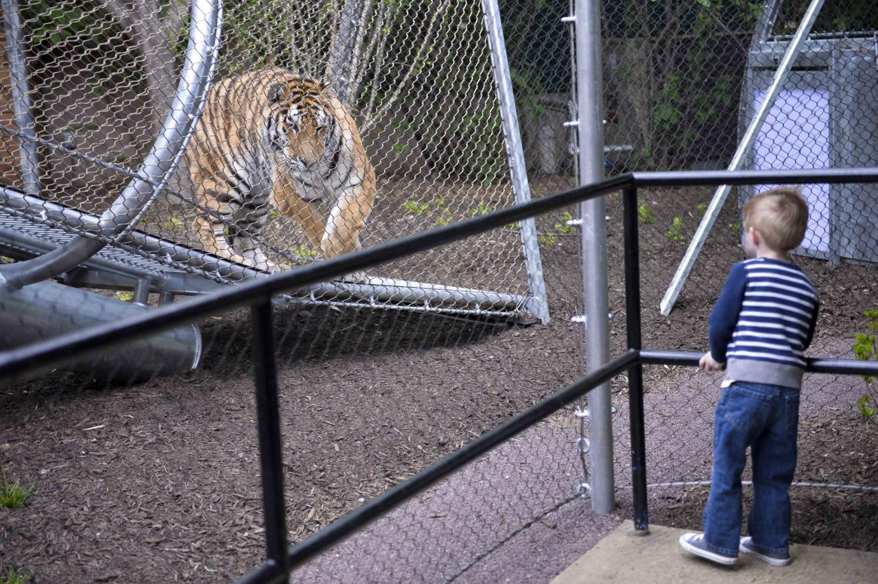 Owen Berk, 3, interacts with an Amur tiger inside the new Big Cat Crossing at the Philadelphia Zoo in Philadelphia, Pennsylvania May 7, 2014. The new animal exploration trail experience called Zoo360 of see-through mesh trails enables animals to roam around and above Zoo grounds. REUTERS/Charles Mostoller (UNITED STATES - Tags: ANIMALS ENVIRONMENT TRAVEL)