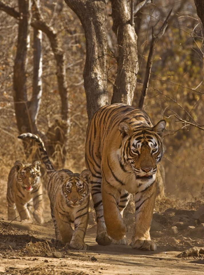 Machli, a wild tigress with three young cubs in Ranthambore National Park.