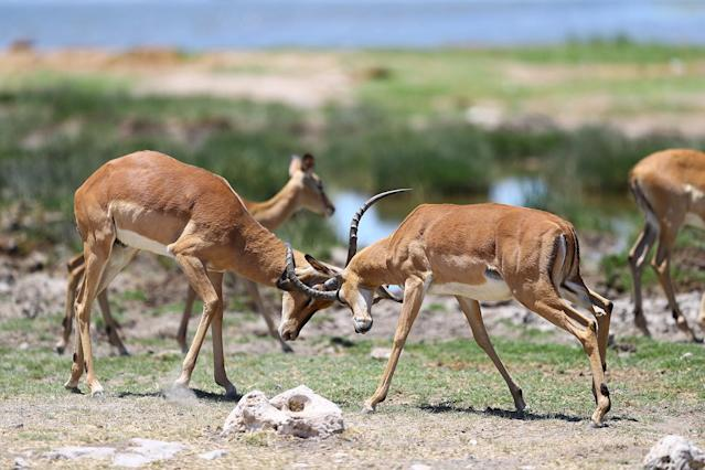 <p>Two impalas lock horns after playing at the Goas watering hole in Etosha National Park. (Photo: Gordon Donovan/Yahoo News) </p>
