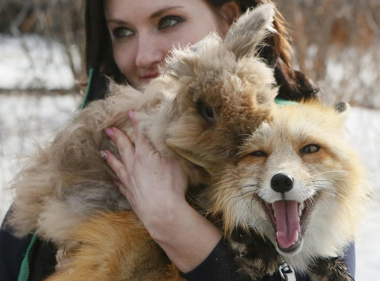 A zoo employee Valentina Chernomorets carries a rabbit named Chupakabra and Ralf, a one-year old red fox, after a training session which is a part of a programme of taming wild animals for research and interaction with visitors, at the Royev Ruchey Zoo in Krasnoyarsk, Siberia, Russia March 27, 2017. Ralf was born at the Institute of Cytology and Genetics (ICG) in Novosibirsk, which experimented on fox domestication through long-term selection and breeding for more than 50 years, according to zoo representatives. REUTERS/Ilya Naymushin