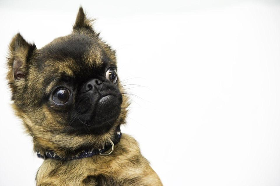 """<p>A former Belgian street dog, the Brussels Griffon is as quirky as he is cute. With an expressive, <a href=""""https://www.womansday.com/life/pet-care/g3227/funny-dogs-grace-chon/"""" rel=""""nofollow noopener"""" target=""""_blank"""" data-ylk=""""slk:adorable"""" class=""""link rapid-noclick-resp"""">adorable</a> visage that's often compared to a human face, these dogs are known for their intelligence, sense of humor, and self-importance. Dog Time notes that neither smooth nor rough-coated varieties <a href=""""https://dogtime.com/dog-breeds/brussels-griffon#/slide/1"""" rel=""""nofollow noopener"""" target=""""_blank"""" data-ylk=""""slk:shed"""" class=""""link rapid-noclick-resp"""">shed</a> much, but stripping their coat makes them even friendlier to people with allergies.</p>"""