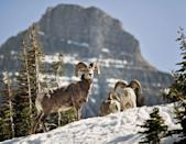 <p>There's an abundance of wildlife to be found in Montana's Glacier National Park, even in the cold winter. Here, a few bighorn sheep hang out in the snow at Logan Pass in the park. </p>