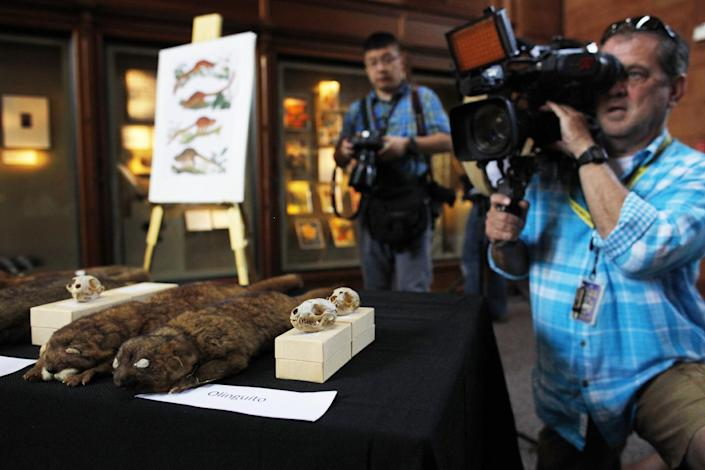 Journalists photograph specimens of olinguito (Bassaricyon neblina), which is the first carnivore species to be discovered in the American continents in 35 years, Thursday, Aug. 15, 2013, during a news conference in Washington. The two-pound olinguito is native to forests of Colombia and Ecuador. (AP Photo/Charles Dharapak)