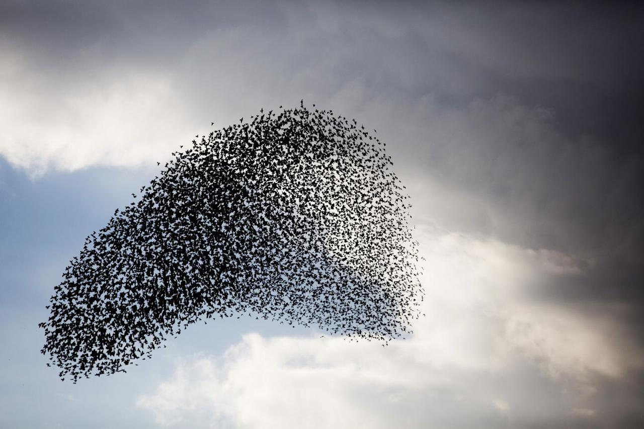 """<p>Starlings take centre stage at this time of year too. Marshlands and reed beds are transformed as thousands of birds return to roost. Before they bed down for the night, the starlings perform a special dance (known as a  murmuration) in the sky at dusk. A seriously special sight. </p><p><strong>Where to spot them: </strong>The RSPB has a helpful list of locations on <a href=""""https://www.rspb.org.uk/birds-and-wildlife/wildlife-guides/bird-a-z/starling/starling-murmurations/"""" target=""""_blank"""">its website</a>.</p>"""