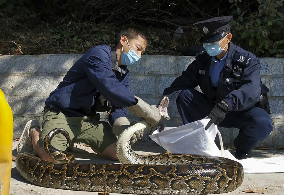 In this photo provided by Ken Lee, left, Lee puts a three-meter long Burmese Python that he has just grabbed, into a cloth bag held by a policeman, at Tai Pak Tin village, in Hong Kong's rural New Territories district on Dec 1, 2020. Lee, a registered snake catcher, recently hit the headlines when he bagged the Burmese Python. (Courtesy of Ken Lee via AP)