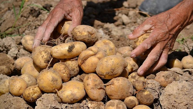 PepsiCo Withdraws All Cases Against Gujarat Potato Farmers Over Cultivation of Its Patented Seeds