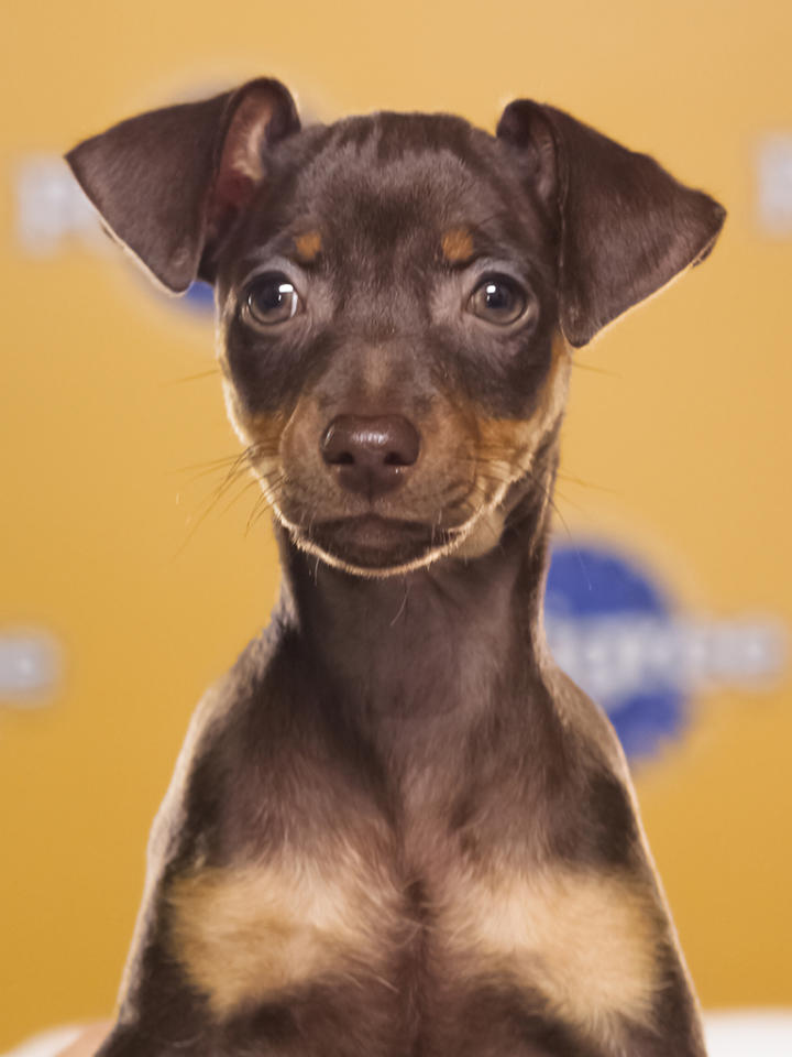 Name: Agatha Breed(s): Miniature Pinscher Sex: Female Age: 9 weeks Fun Fact: Loves to be the center of attention and get everyone going Adoption Organization: IMPS (Internet Miniature Pinscher Services)