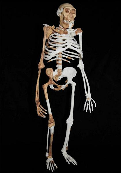Here a composite reconstruction of <em>Au. sediba</em>, which may be humanity's closest relative. The reconstruction isbased on material from a younger male skeleton (MH1), a female skeleton (MH2) and an adult (MH4), and based upon the research