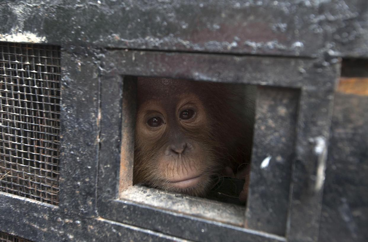 A young Sumatran orangutan looks out from its travel cage as it arrives at the Sumatran Orangutan Conservation Programme quarantine at Batu Mbelin, near Medan in North Sumatra, Indonesia November 16, 2015. Three baby Sumatran orangutan were recovered recently by police after they arrested wildlife traffickers who smuggled them out of Aceh province.  REUTERS/Y.T. Haryono      TPX IMAGES OF THE DAY