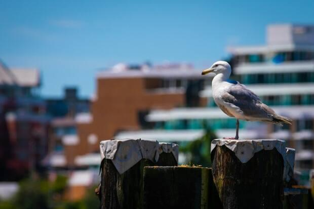 Seagulls may be a pain for city dwellers, but they are ecologically significant.  (Mike McArthur/CBC - image credit)