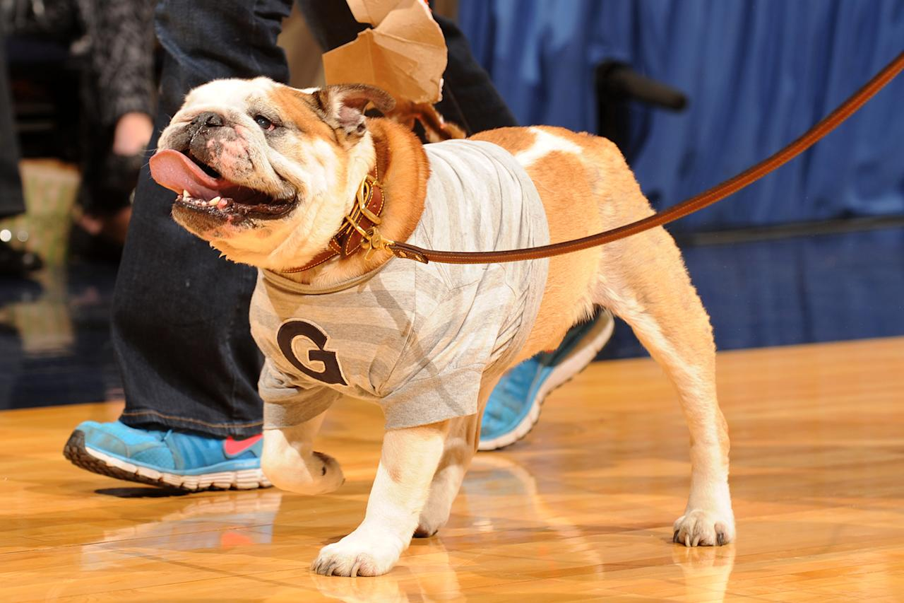 Georgetown Hoyas mascot Jack the bulldog walks off the floor for his last game before retiring during a college basketball game against the Georgetown Hoyas on March 9, 2013 at the Verizon Center in Washington, DC.  The Hoyas won 61-39.  (Photo by Mitchell Layton/Getty Images)