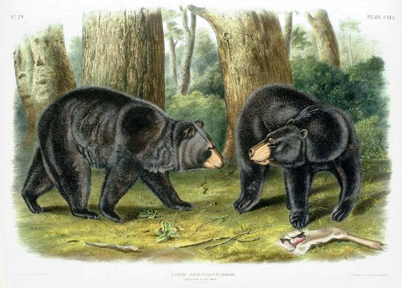 "In this photo provided by the Indiana Historical Society is an image of bears from ""Viviparous Quadrupeds of North America"" collection by John James Audubon. The Indiana group paid $4,000 for complete sets of ""The Birds of America"" in 1933 and $900 for ""Viviparous Quadrupeds of North America"" in 1951 which it will auction in April. The society says the auction of the Indiana collections will allow the society to acquire more state-specific items and increase its storage. (AP Photo/Courtesy Indiana Historical Society)"