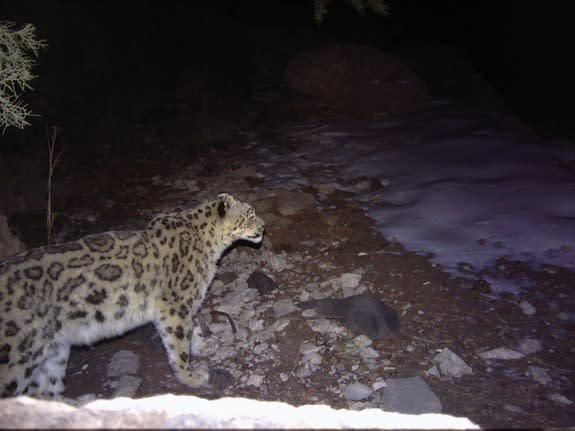 Snow Leopards Photographed for the 1st Time in Uzbekistan