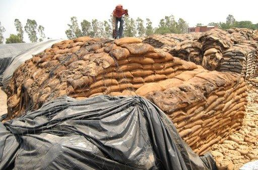 An Indian labourer covers rotting wheat at Khamano village 40 kilometres from Ludhiana in May