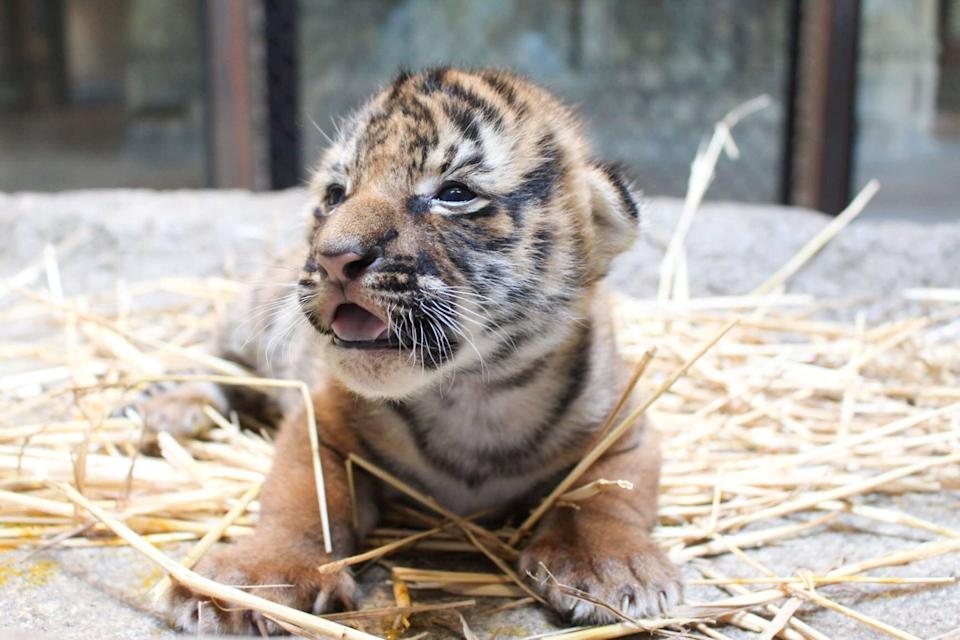 A female Malayan tiger cub is doing well after being born at the Tulsa Zoo earlier this month. The announcement comes on International Tiger Day.