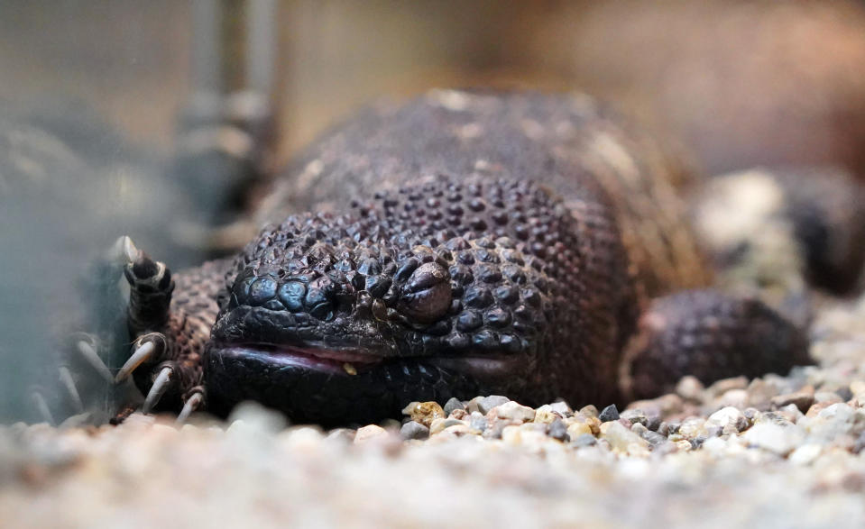 One of the two endangered venomous Mexican beaded lizards that hatched in February at an incubator, is seen in Wroclaw Zoo, in Wroclaw, Poland, April 4, 2021. Two endangered Mexican beaded lizards have hatched at the Wroclaw Zoo in Poland, boosting the population of the venomous lizards. The zoo said they hatched in late February at the zoo's terrarium, where the eggs had been kept in an incubator ever since they were laid in August. They are still being kept from the public's view and keepers have not yet determined their sex. (Wroclaw Zoo via AP Photo)