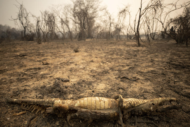 The remains of a dead alligator lay on the ground after a wildfire burned through the area next to the Transpantaneira road at the Pantanal wetlands near Pocone, Mato Grosso state, Brazil, Monday, Sept. 14, 2020. A vast swath of the vital wetlands is burning in Brazil, sweeping across several national parks and obscuring the sun behind dense smoke. (AP Photo/Andre Penner)