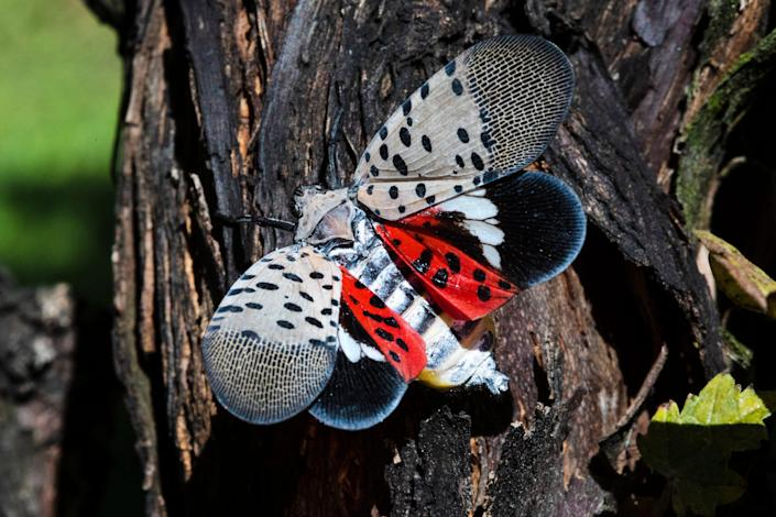 This Sept. 19, 2019, file photo shows a spotted lanternfly at a vineyard in Kutztown, Pa. According to Rhode Island state environmental officials, Friday, Aug. 6, 2021, the insect that can cause damage to native trees and agricultural crops has been found recently in the state.