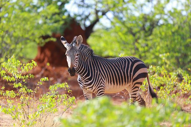 <p>A zebra stands and stares back at the photographer driving by from the thick vegetation along the road near the Okaukuejo camp in Etosha National Park. (Photo: Gordon Donovan/Yahoo News) </p>