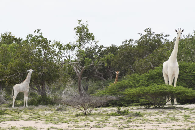 Rare white giraffe and baby caught on camera for first time