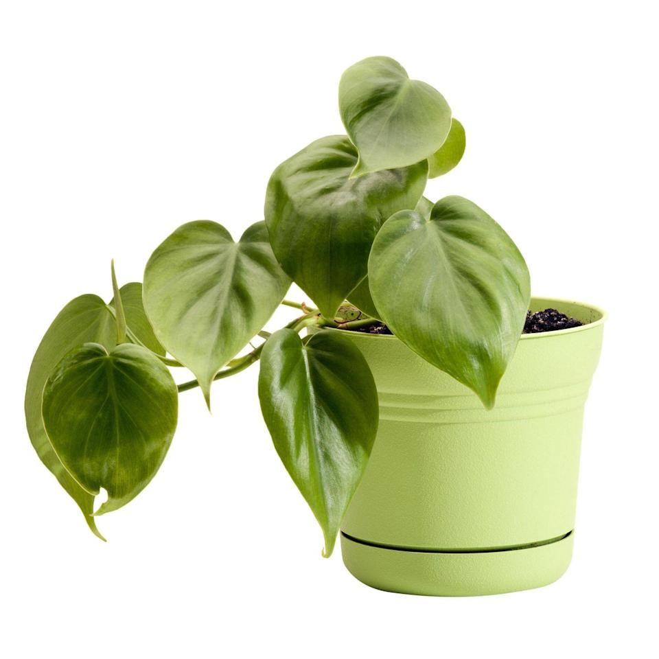 """<p>The sweetheart plant (a nickname given because of the shape of its glossy leaves) can stand dim rooms, but <a href=""""http://www.guide-to-houseplants.com/heartleaf-philodendron.html"""" rel=""""nofollow noopener"""" target=""""_blank"""" data-ylk=""""slk:requires pinching"""" class=""""link rapid-noclick-resp"""">requires pinching</a> to prevent it from growing in long, single stems.</p>"""