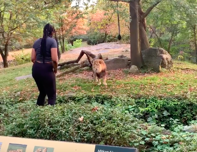 The woman entered the lion enclosure at Bronx Zoo and danced in front of the puzzled-looking animal (Instagram)
