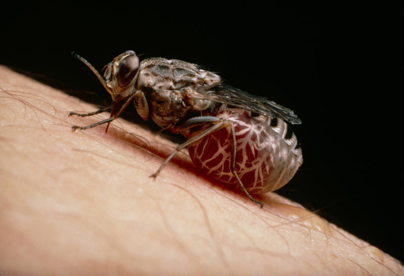 The tsetse fly, here engorged with blood, spreads the parasitic sleeping sickness. (MARTIN DOHRN/SCIENCE PHOTO LIBRARY via Getty Images)