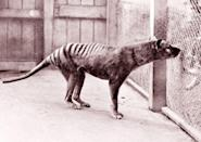 "<p>The Thylacine, a carnivore also referred to as the Tasmanian tiger and Tasmanian wolf, was a (mostly) nocturnal marsupial that preyed on rodents and kangaroos.</p><p>Although Thylacine's looked fierce, they were actually quite timid and, according to <em>Live Science</em>, ""<a href=""https://www.livescience.com/58753-tasmanian-tiger-facts.html"" rel=""nofollow noopener"" target=""_blank"" data-ylk=""slk:could be captured without a fight"" class=""link rapid-noclick-resp"">could be captured without a fight</a>."" Reports of Thylacine sightings have been so frequent in the past century that it <a href=""https://www.livescience.com/58483-search-for-extinct-tasmanian-tiger.html"" rel=""nofollow noopener"" target=""_blank"" data-ylk=""slk:sparked an investigation"" class=""link rapid-noclick-resp"">sparked an investigation</a> as to the status of their existence.</p><p><strong>Cause of Extinction:</strong> it is believed that Dingo populations threatened the Thylacine into extinction in addition to over-hunting from humans.</p>"