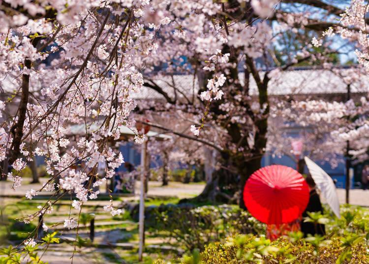 Famous for its Gion Shidarezakura (weeping cherry trees) and 680 trees in full bloom around the pond