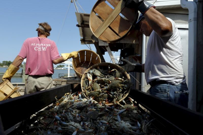 The Wider Image: Crab-Catching Blues