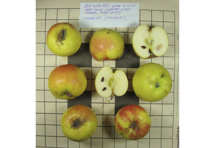 This 2019 photo provided by the Temperate Orchard Conservancy in Molalla, Ore., shows apples that were collected by David Benscoter and EJ Brandt of the Lost Apple Project in northern Idaho and eastern Washington. They are identified as the Mihalyfi variety, which is one of 10 apple varieties in the Pacific Northwest that were planted by long-ago pioneers and had been thought extinct. (Joanie Cooper/Temperate Orchard Conservancy via AP)