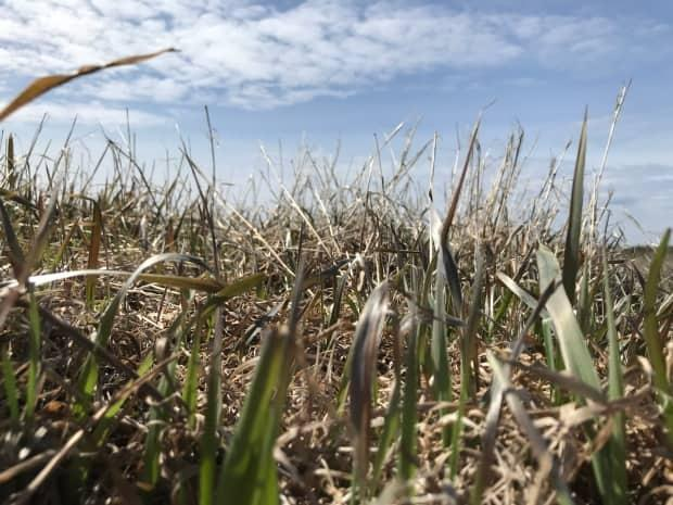 Several municipalities across Alberta have declared states of agricultural emergency due to hot and dry conditions. (Alex Brockman/CBC - image credit)