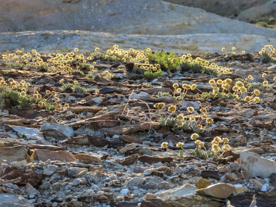 This photo taken in June 2019 in the Silver Peak Range of western Nevada about halfway between Reno and Las Vegas shows Tiehm's buckwheat growing in the high desert where a lithium mine is planned. The U.S. Fish and Wildlife Service proposed on Friday that the rare wildflower that's not known to exist anywhere else in the world be listed as a U.S. endangered species. (Patrick Donnelly/Center for Biological Diversity via AP)