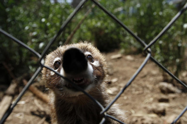 <p>A coati, which had been rescued from a home along with two others of its kind, sits inside its enclosure at the Federal Wildlife Conservation Center on the outskirts of Mexico City May 20, 2011. According to Mexico's Federal Wildlife Conservation Department, at least 2,500 different animals are rescued annually in the country, 70 percent from illegal animal trafficking within and outside the country and 30 percent from domestic captivity. (Photo: Carlos Jasso/Reuters) </p>