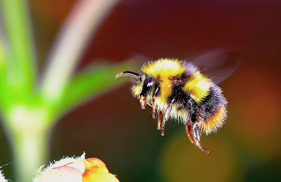 Bees were shown to not have the same cognitive ability as wasps (Pixabay)