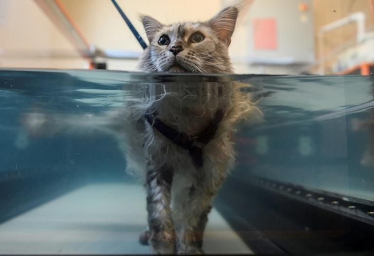 Bess, an arthritis sufferer, is put through her paces on an underwater treadmill (AFP Photo/ANDREW CABALLERO-REYNOLDS)