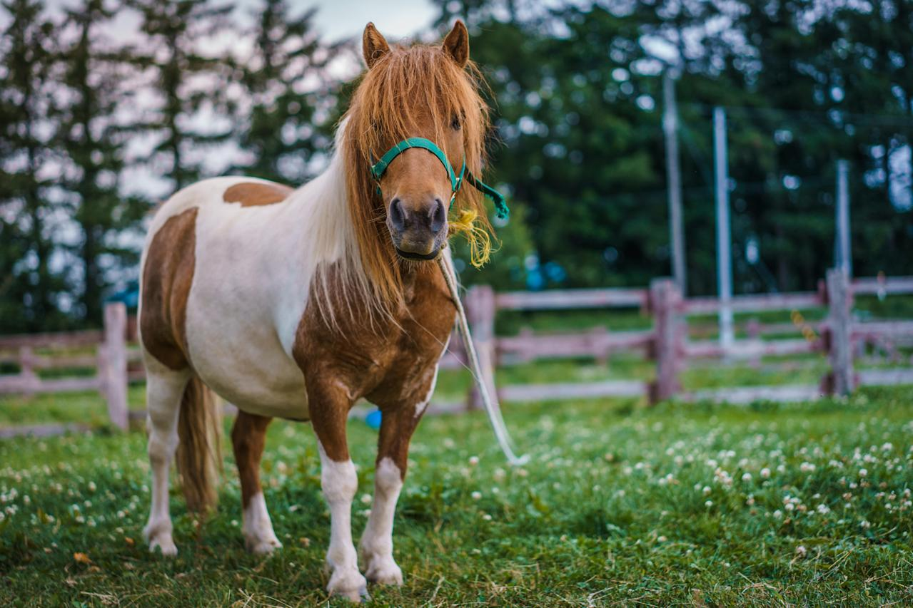 Miniature Horses can fly as service animals