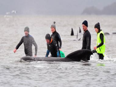Lone whale rescued from pod of dead carcasses as Australia reports largest-ever mass stranding