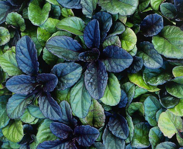 "<p>Glossy leaves in shades of deep green, bronze, and chocolate-brown make this perennial a great low-growing lawn alternative for almost any climate. In summer months, little spikes of blue, purple, pink or white flowers will appear. Ajuga spreads rapidly in varying conditions, tolerating shade or sun.</p><p><a class=""link rapid-noclick-resp"" href=""https://go.redirectingat.com?id=74968X1596630&url=https%3A%2F%2Fwww.etsy.com%2Flisting%2F677590616%2Fajuga-bronze-beauty-set-of-3-pots&sref=https%3A%2F%2Fwww.goodhousekeeping.com%2Fhome%2Fgardening%2Fg32440508%2Fbest-ground-cover-plants%2F"" rel=""nofollow noopener"" target=""_blank"" data-ylk=""slk:SHOP NOW"">SHOP NOW</a></p>"