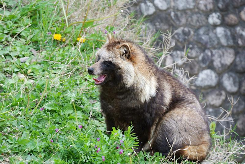 The yawn in the spring. Fluffy raccoon dog.